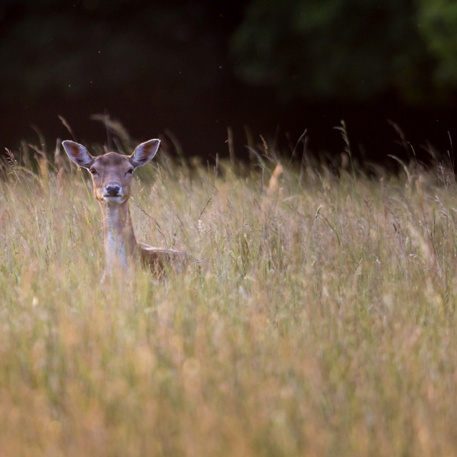 """""""Fawn"""" stock image"""