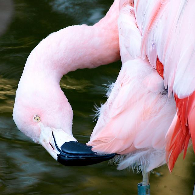 """Pink Flamingo"" stock image"