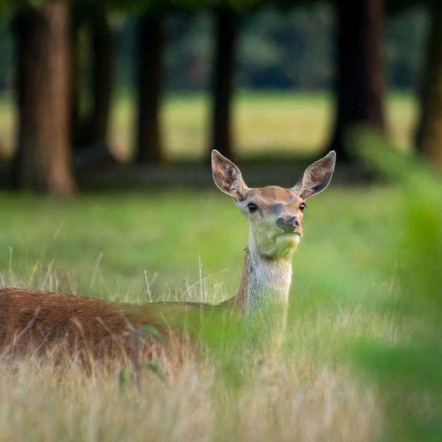 """Red Deer Hind"" stock image"