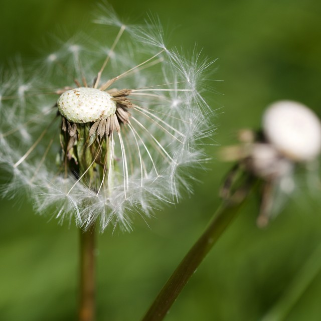 """Dandelion in the breeze"" stock image"