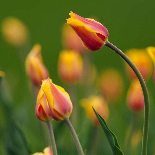 """Tulip"" stock image"