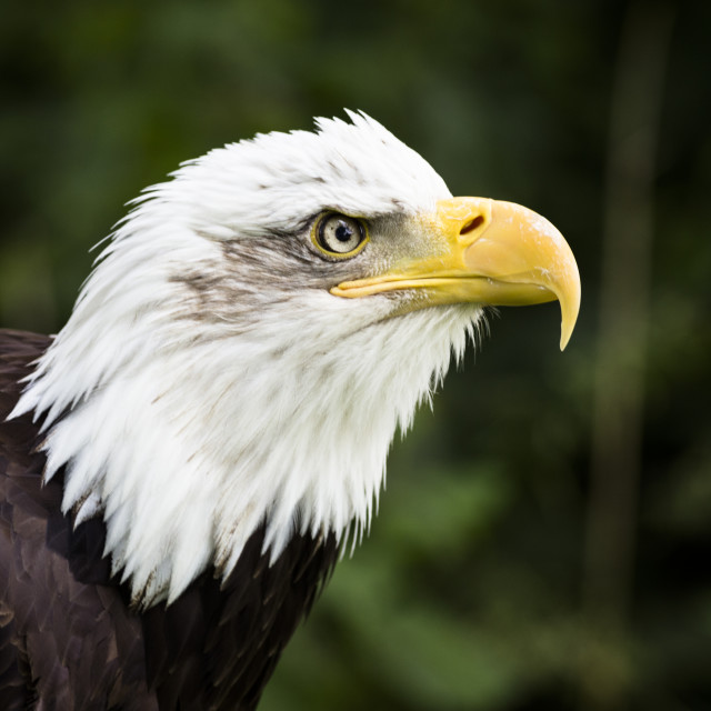 """Bald Eagle 2"" stock image"