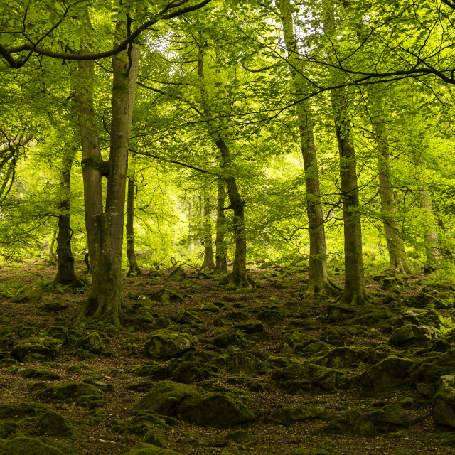"""Woodlands in Spring"" stock image"