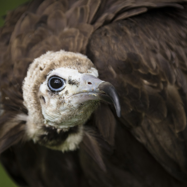 """""""Hooded Vulture"""" stock image"""
