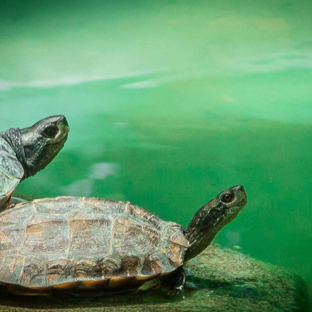 """Smiling Tortoise"" stock image"