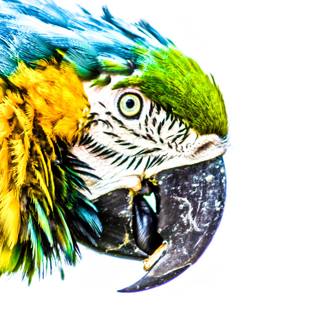 """Colorful parrot"" stock image"