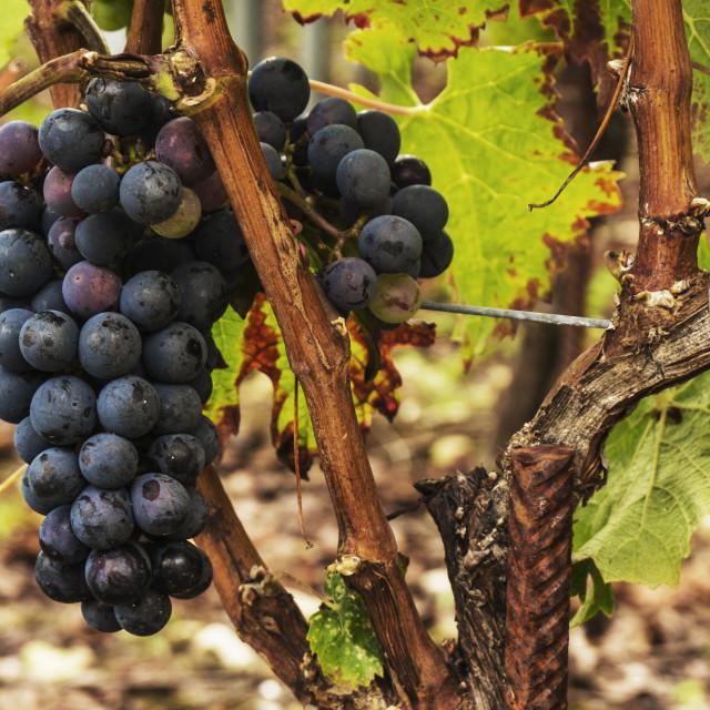 """""""Black ripe grapes on the vine"""" stock image"""