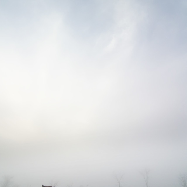 """""""Cow in the Fog"""" stock image"""