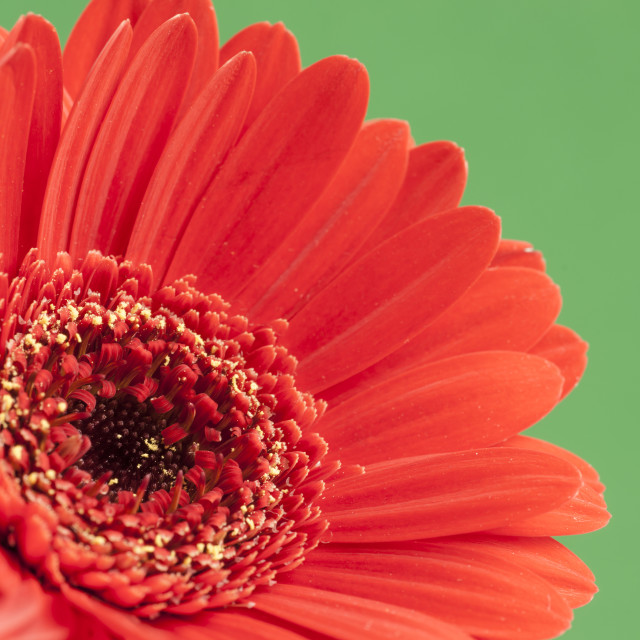 """Bright Red Gerbera on green background"" stock image"