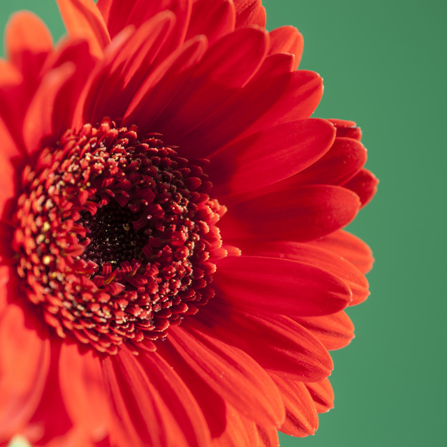 """A bright red gerbera isolated on a contrasting green background"" stock image"