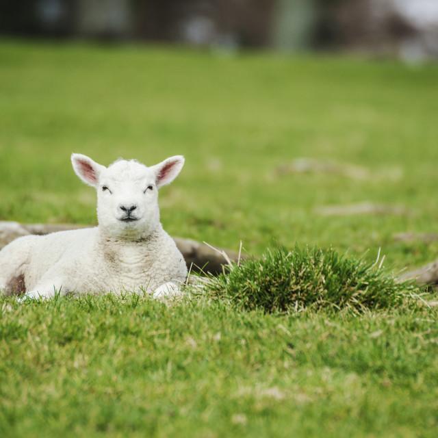 """White Lamb in Pasture"" stock image"