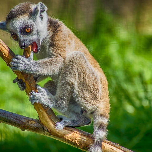 """Lemur cub playing"" stock image"