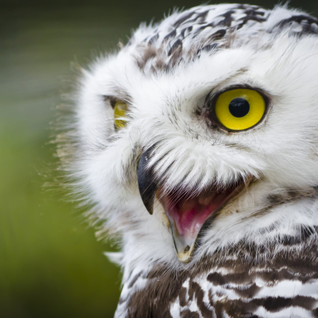 """Snowy Owl"" stock image"