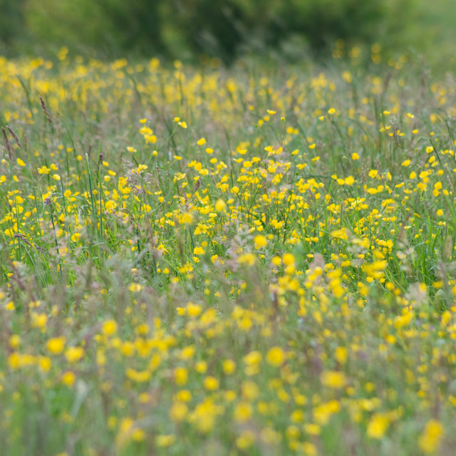"""Buttercup field"" stock image"