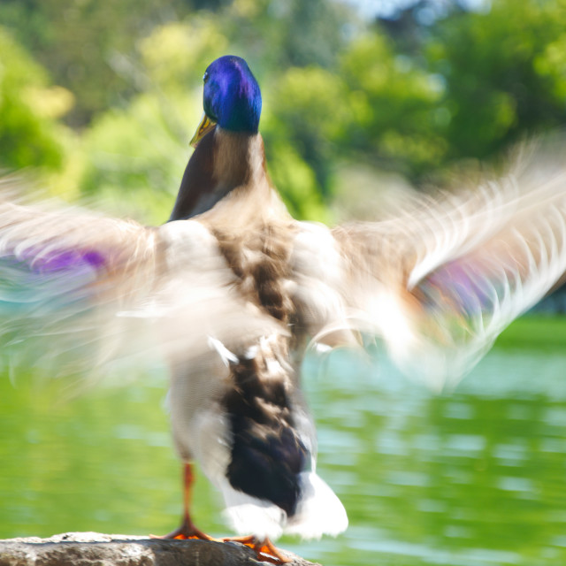 """Duck flapping it's wings"" stock image"