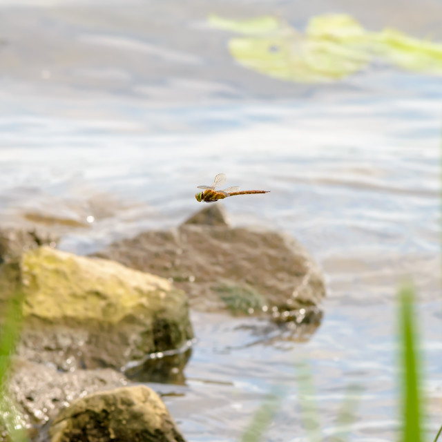 """Dragonfly Flying"" stock image"