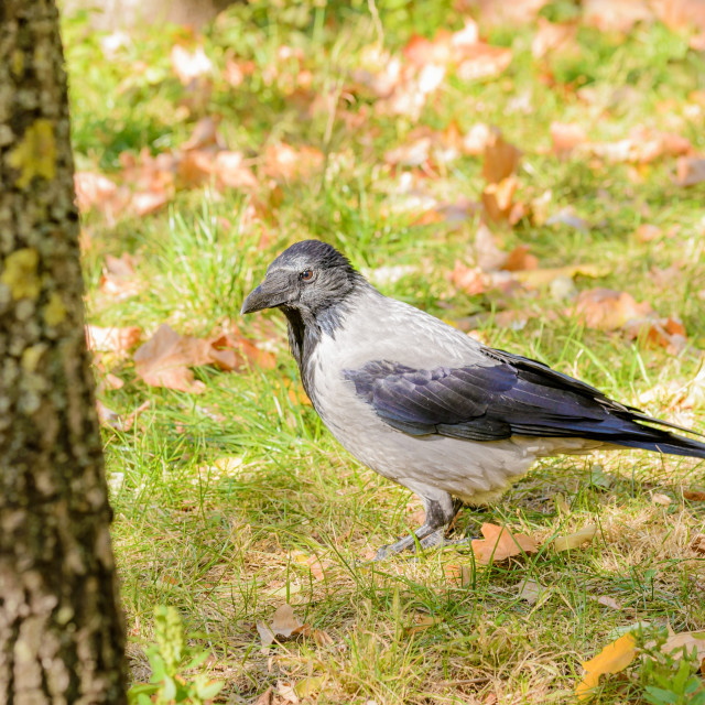 """""""Hooded Crow in Autumn"""" stock image"""