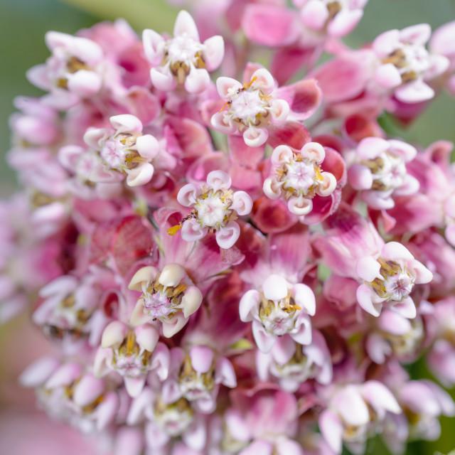 """Asclepias Flower"" stock image"