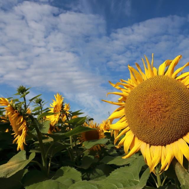 """Sunflowers"" stock image"