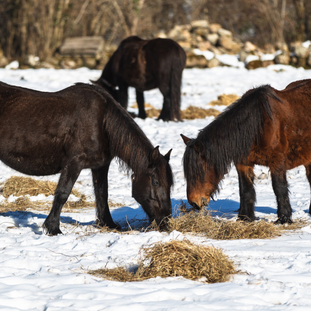 """Winter horses"" stock image"