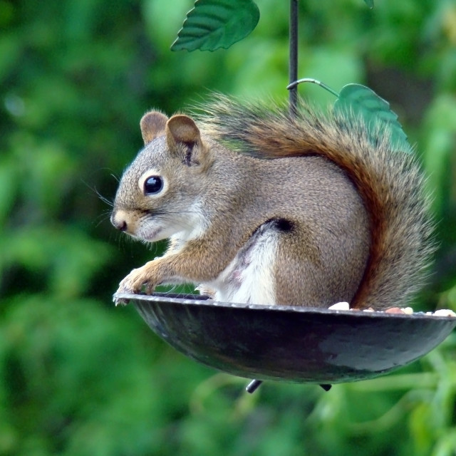 """Cute Chipmunk"" stock image"