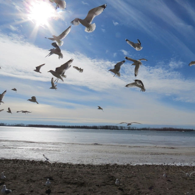 """Flying Gulls"" stock image"