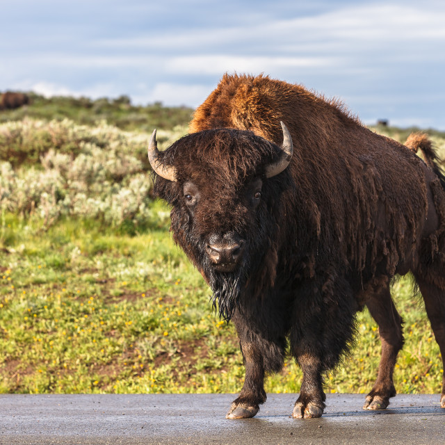 """Wet Bison"" stock image"