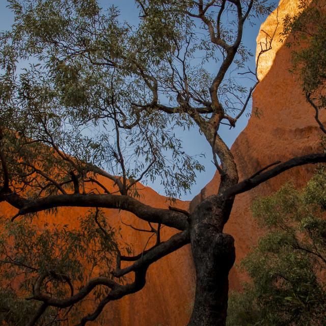"""""""Desert Oak"""" stock image"""