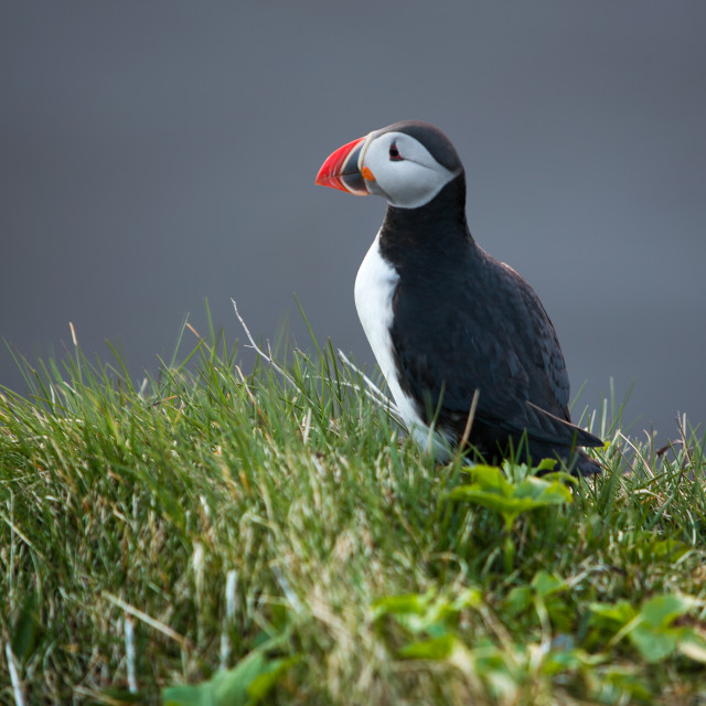 """""""one proud puffin"""" stock image"""