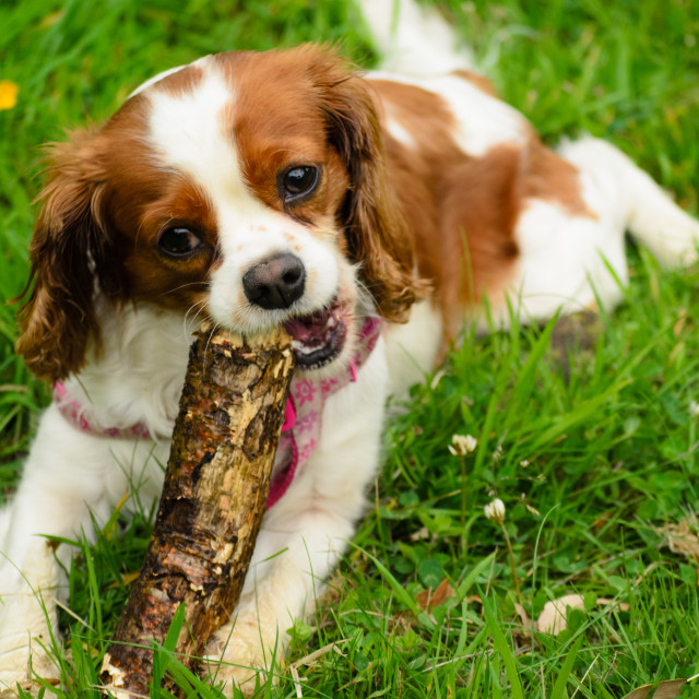 """Cavalier King Charles"" stock image"
