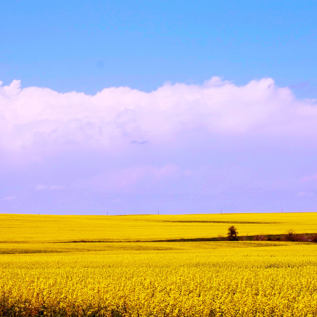 """Canola Field in Bloom"" stock image"