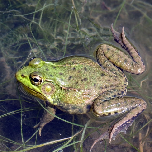 """Frog Close up"" stock image"