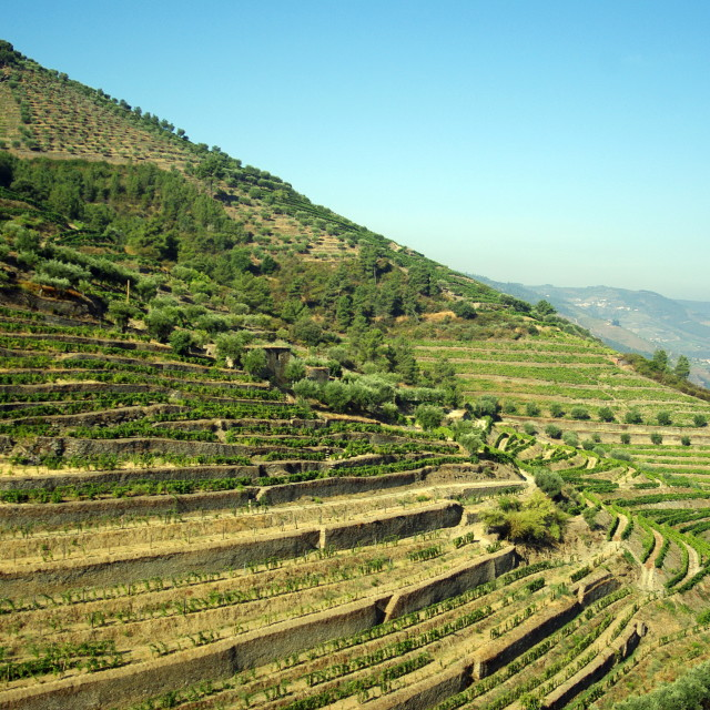 """Douro Valley vineyards"" stock image"