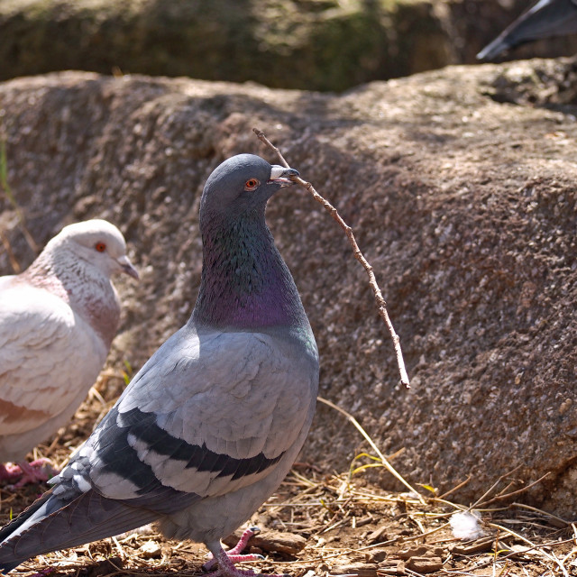 """""""Pigeon with twigs"""" stock image"""