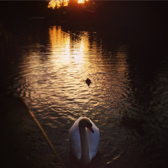 """Swan in the Sunset"" stock image"