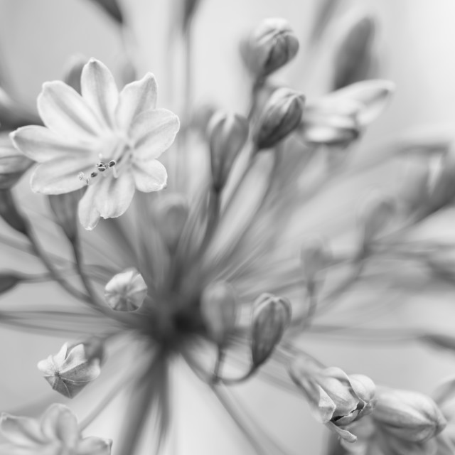"""Mono Flower"" stock image"