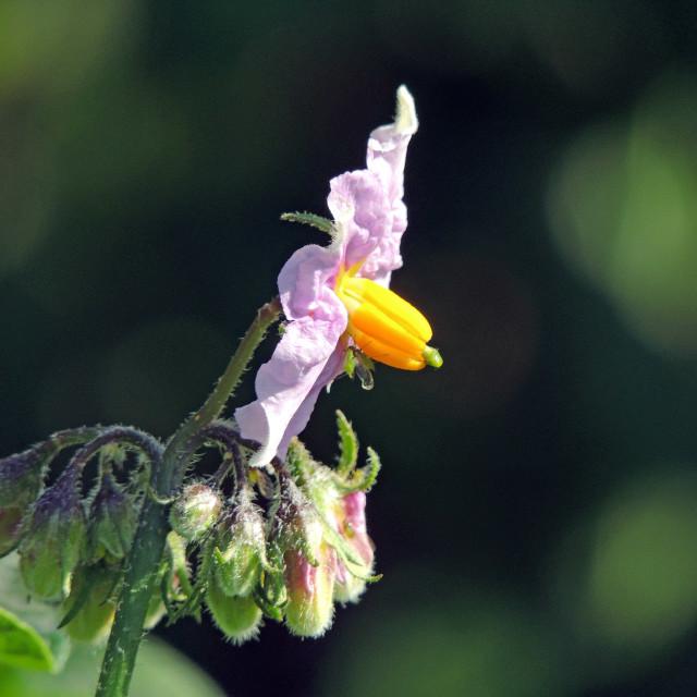 """Potato flower"" stock image"