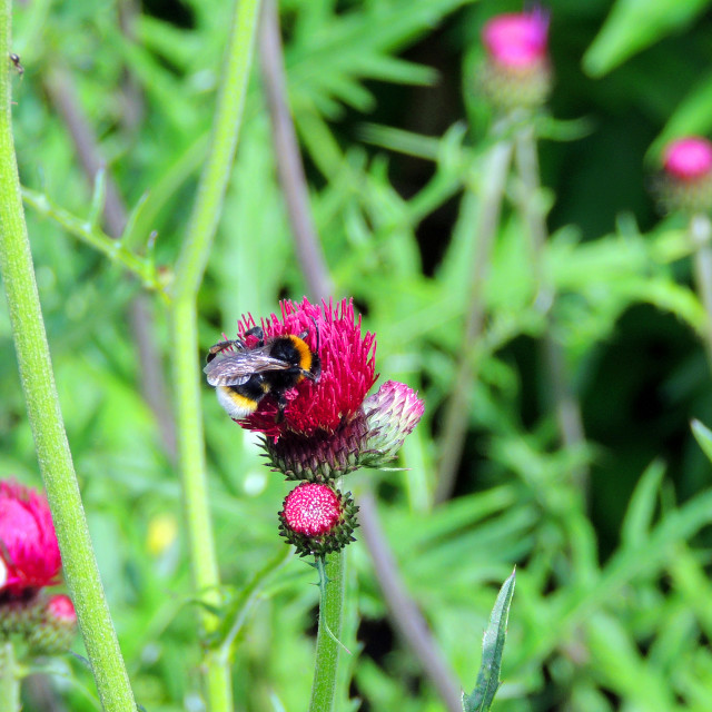 """""""Two bees three thistles"""" stock image"""