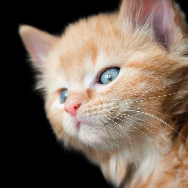 """blue eyed kitten"" stock image"