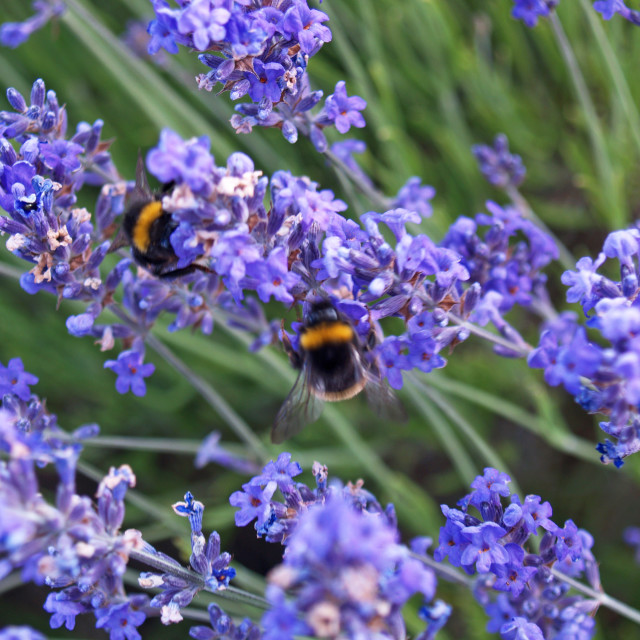"""Lavender Bees"" stock image"