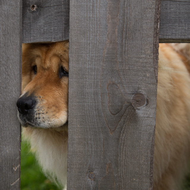 """""""Chow Chow"""" stock image"""