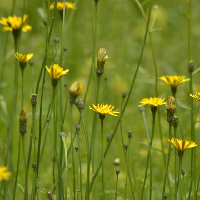 """Dandilion meadow"" stock image"