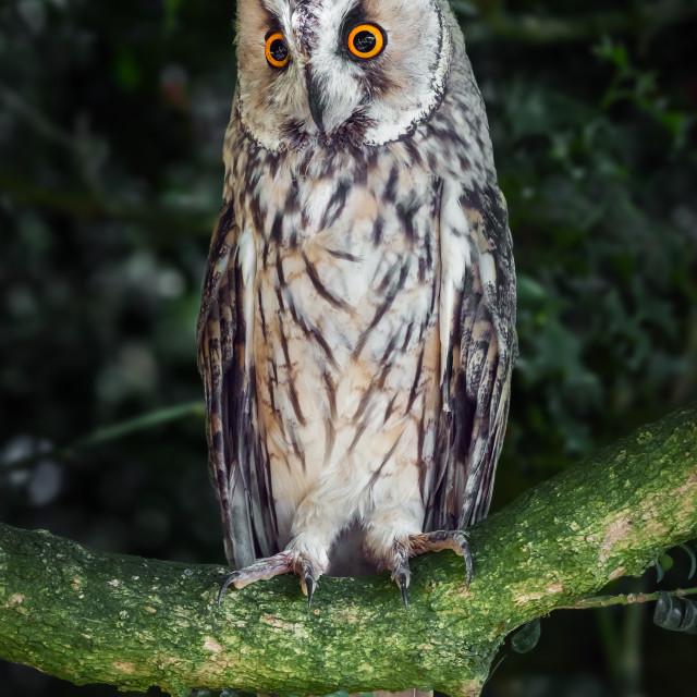 """Long-eared owl peering down"" stock image"