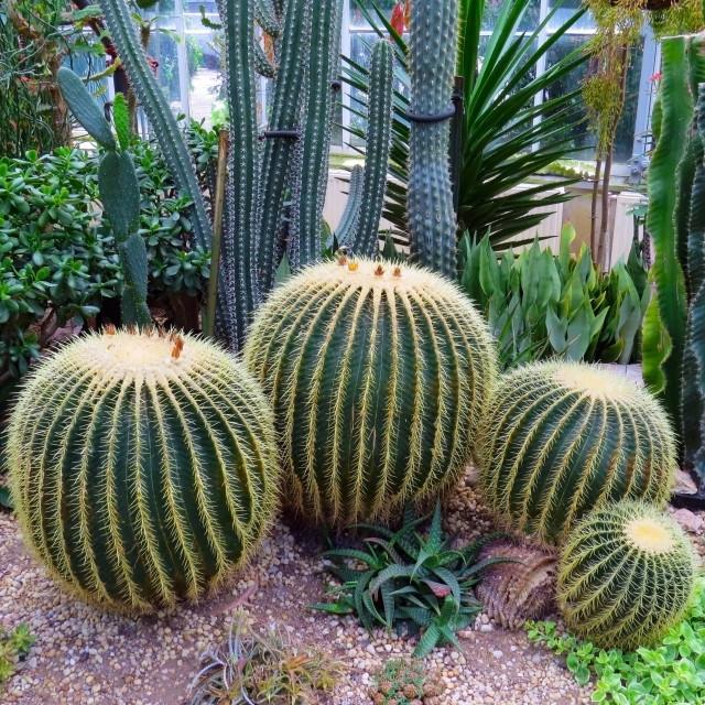 """barrel cactus"" stock image"