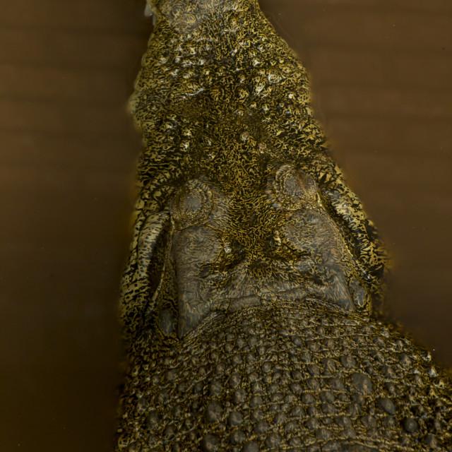 """Sarawak Crocodile"" stock image"