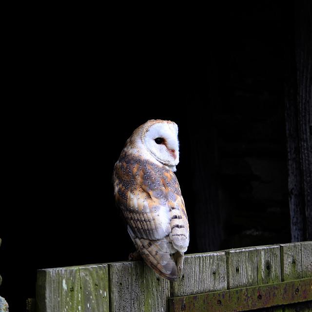 """""""Barn Owl On Barn Door"""" stock image"""
