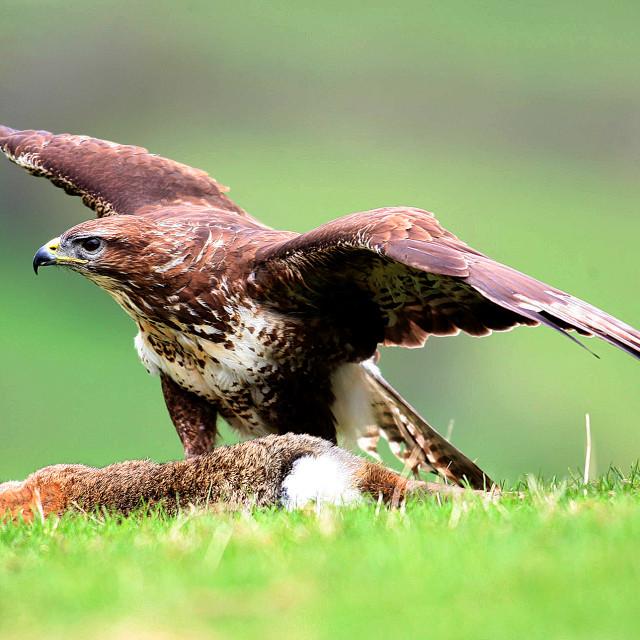 """Buzzard with prey"" stock image"