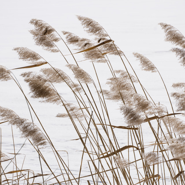 """Coastal Typha reeds in wintertime"" stock image"