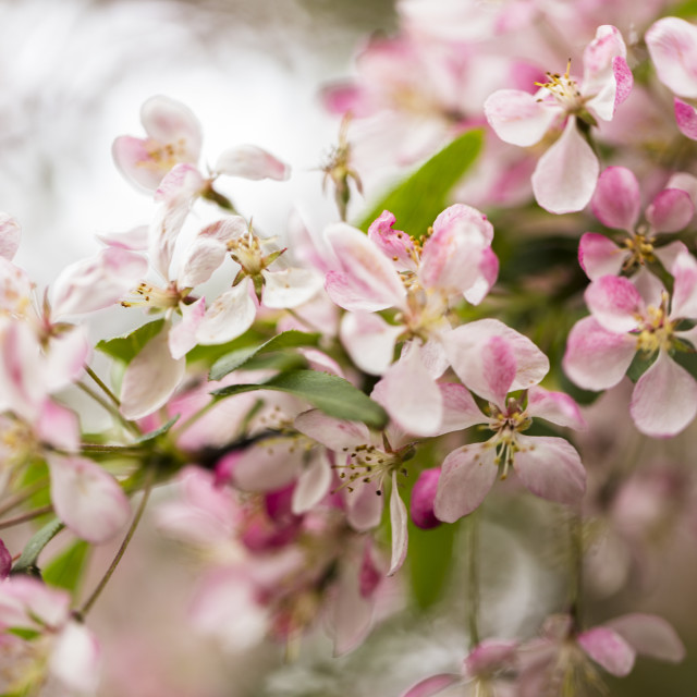 """Pink Tree Blossoms"" stock image"