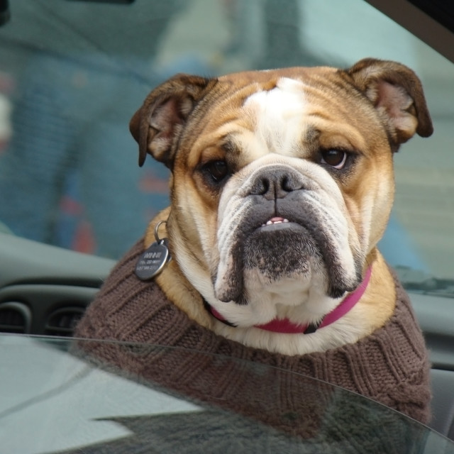 """Bulldog riding in car"" stock image"